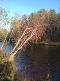 Дерево Ashberry Стоковое Изображение