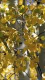 Дерево Aspen с желтыми листьями Стоковое Изображение