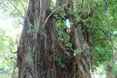 Дерево Balite стоковые фотографии rf