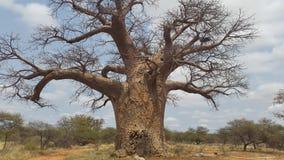 Дерево Baoba Стоковое Фото