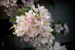 Дерево Blossums Стоковые Изображения RF