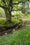 Дерево, bluebells, и поток в Argyll, Шотландии Стоковая Фотография