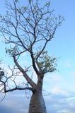 Дерево Boab Стоковое Изображение RF