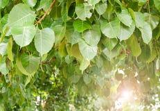 Дерево Bodhi листьев стоковые изображения