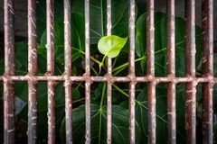 Дерево Bodhi растет Причиненный в стоке с появляться гребня стоковое фото