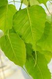 Дерево Bodhi Стоковые Изображения RF