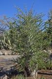Дерево Boojum стоковая фотография