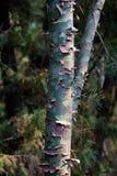 Дерево Camo камуфлирования реальное Стоковое Изображение RF