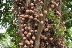 Дерево Canonball Стоковые Изображения