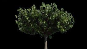 Дерево catalpa изолята с штейном видеоматериал