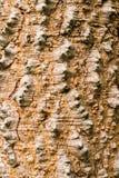 Дерево ceiba Bombax Стоковое фото RF