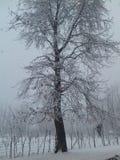 Дерево Chinar Стоковое фото RF