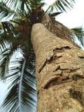 Дерево Cocunut стоковые фотографии rf