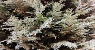 Дерево conifer Картина текстуры естественной старой рождественской елки деревянные или предпосылка рождественской елки для дизайн стоковая фотография