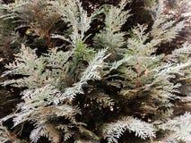 Дерево conifer Картина текстуры естественной старой рождественской елки деревянные или предпосылка рождественской елки для дизайн стоковое изображение