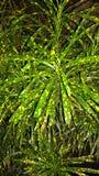 Дерево Crotton Стоковые Фотографии RF