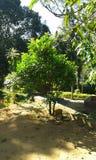 Дерево Dehi Стоковые Изображения