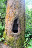 Дерево Dipterocarpus стоковые изображения