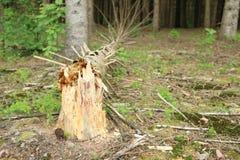 Дерево Falen Стоковая Фотография