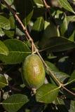 Дерево Feijoa с зрелым плодоовощ Стоковое Изображение RF
