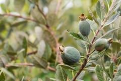 Дерево Feijoa с плодоовощ Стоковые Изображения RF