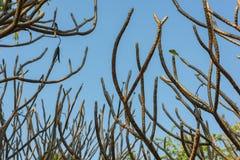 Дерево Frangipani на предпосылке голубого неба Стоковые Изображения RF