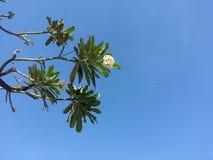 Дерево Frangipani с голубым небом Стоковая Фотография RF