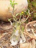 Дерево Frangipani Стоковое фото RF