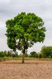 Дерево Gant в шторме Стоковая Фотография