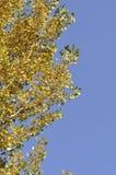Дерево gingko осени Стоковое Фото
