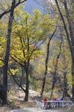Дерево gingko осени Стоковые Фото