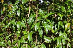 Дерево gnemon Gnetum, Melinjo Стоковые Фото