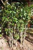 Дерево gnemon Gnetum, Melinjo Стоковые Изображения RF