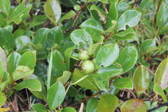 Дерево Guava Стоковые Фото