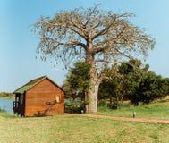 Дерево Imbondeiro Стоковое фото RF