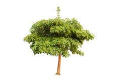 Дерево Ioslated на белой предпосылке стоковые изображения rf