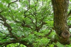 Дерево Jamjuree гиганта с много ветвей для textu предпосылок стоковые изображения rf