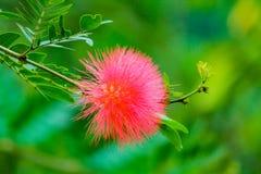 дерево julibrissin albizia silk стоковое изображение rf