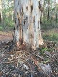 Дерево Karri Стоковое Изображение
