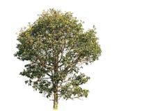 Дерево Lage с путем клиппирования и космос экземпляра на белой предпосылке стоковое фото
