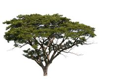 Дерево Lage с путем клиппирования на белой предпосылке стоковые фото