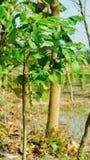 Дерево Lamboo около аграрного поля стоковые фото
