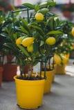 Дерево Limequat - гибрид citrofortunella кумквата известки стоковое фото rf