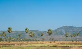 Дерево Linn flabellifer Borassus Стоковые Фотографии RF