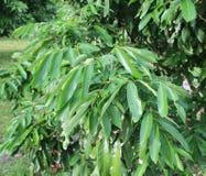 Дерево Longan в саде longan Стоковое фото RF