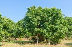 Дерево Longan Стоковые Изображения