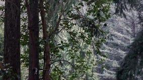 Дерево Madrona перед Тихим океан северо-западным лесом в снеге акции видеоматериалы