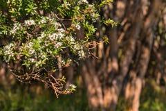 Дерево manuka Новой Зеландии в цветени Стоковая Фотография