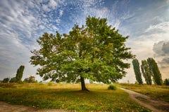Дерево Marple в парке Стоковые Фотографии RF