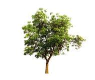 Дерево Neem, тропическая трава, органический завод изолированный на белой предпосылке стоковые изображения rf
